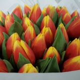 Tulip Red/Orange