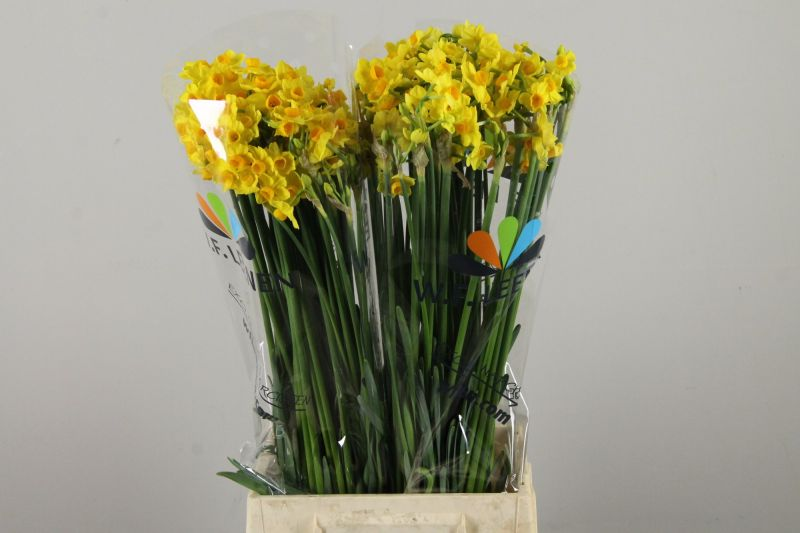 Narcis/ Narcissus