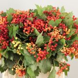Viburnum Bes/ Berry Rood/ Red